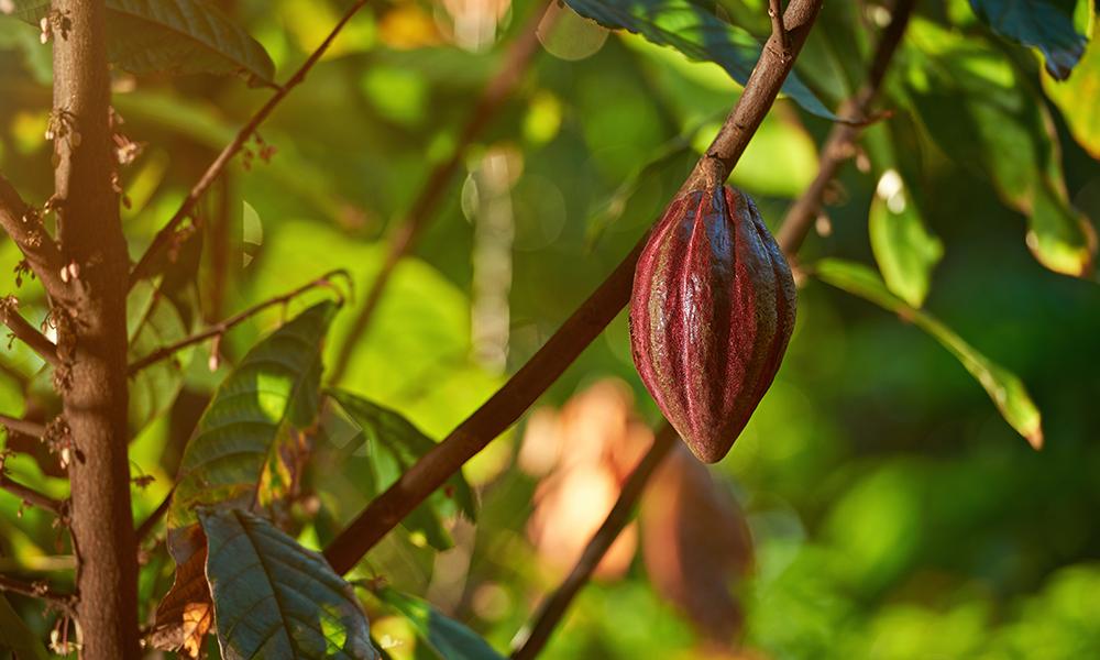 초콜릿 원료인 카카오나무의 학명