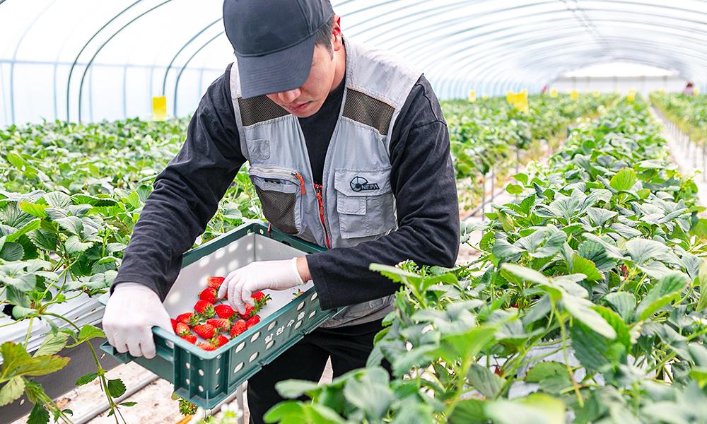진주팜 딸기농가